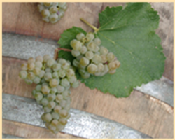 Abacela Albarino Grapes