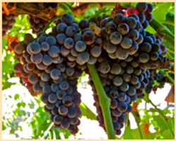 Abacela Grenache Grapes