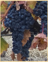 Abacela Tannat Grapes