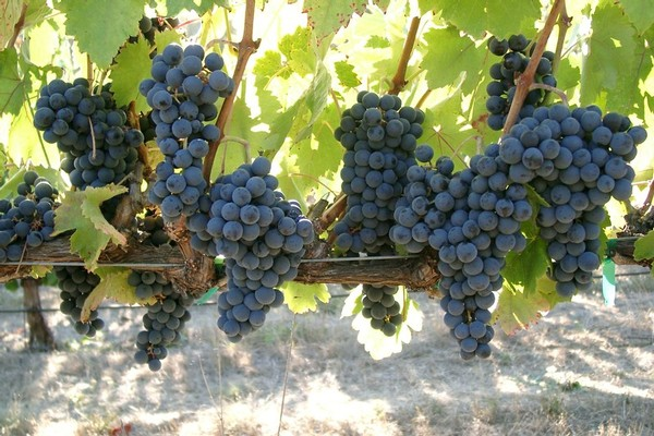 Abacela Tempranillo Grapes