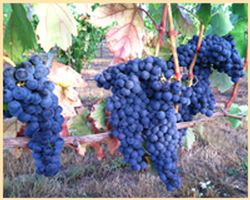 Abacela Tempranillo Grapes 2